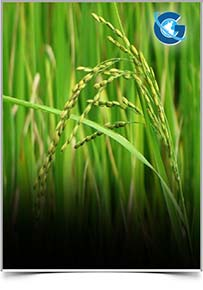 International Journal of Rice Research